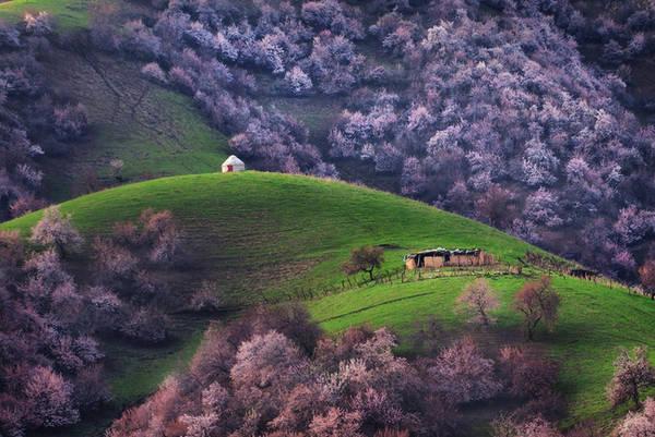 Khu rừng mơ có vẻ đẹp như nàng tiên nữ này nằm ở Tân Cương, Trung Quốc, gần biên giới Kazakhstan. Vào mùa xuân, toàn thung lũng được bao phủ bằng màu trắng, hồng của những cánh hoa mỏng manh. Ảnh:Travelmama.