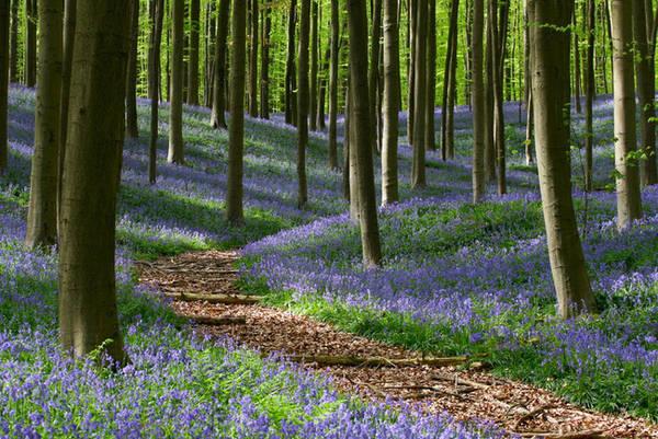 Hallerbos là tên một khu rừng ở Flemish Brabant (Bỉ). Mỗi khi mùa xuân đến, Hallerbos giống như bừng tỉnh sau giấc ngủ đông, hàng triệu đóa chuông xanh cùng khoe sắc tạo nên một thảm xanh trải khắp khu rừng. Ảnh: Monumentaltrees.