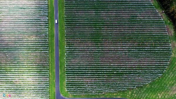 Auckland còn có nhiều cánh đồng trồng nho phục vụ ngành sản xuất rượu vang. Mỗi thửa ruộng rộng từ 2-5 ha. Trong ảnh, làng nho Villa Maria, một trong những nơi thu hút khách du lịch của New Zealand.