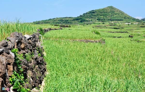 Những phiến đá trầm tích núi lửa nằm vương vãi khắp nơi được người dân đảo Lý Sơn gom nhặt, xếp chồng lên nhau, tạo bờ đá ngoằn ngoèo và những thửa ruộng bậc thang ở thôn Đông, xã An Vĩnh (huyện đảo Lý Sơn).