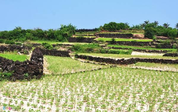 Bờ đá trầm tích núi lửa hình zig zag tạo nên thửa ruộng bậc thang độc đáo ở xã đảo An Bình (đảo Bé), huyện đảo Lý Sơn.