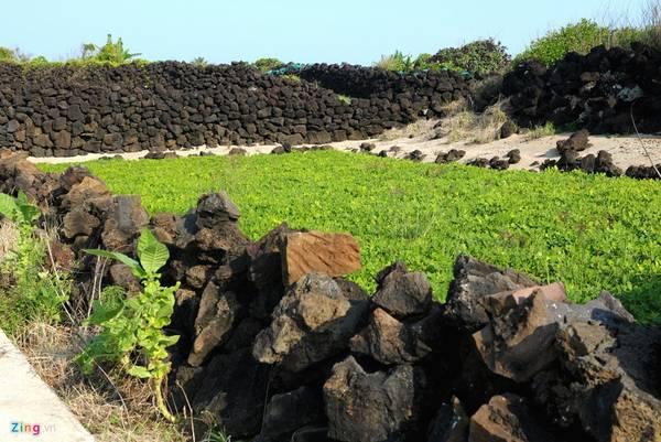 Trải qua nhiều năm dài, người dân nơi đây vẫn thường xuyên bồi đắp, bảo vệ bờ đá trầm tích núi lửa này vừa bảo vệ mùa màng vừa gìn giữ di tích tổ tiên để lại.