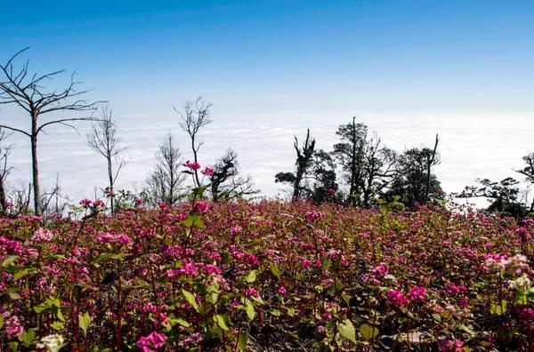Đến Chiêu Lầu Thi những ngày này, du khách được thấy sắc đỏ của hoa tam giác mạch mà hiếm có nơi nào hoa thắm như ở đây..