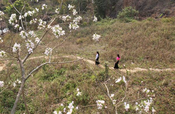 Tháng 3, khi nắng ấm dần cũng là lúc Tây Bắc chìm trong sắc trắng hoa ban. Trên quốc lộ 6 đi Sơn La, Điện Biên, bên vách núi cheo leo... hoa ban đã nở rộ.
