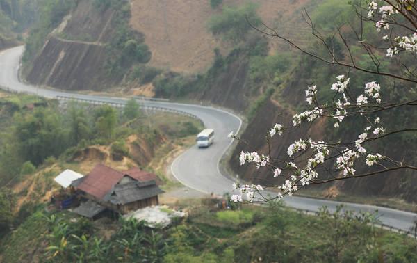 Hoa nở nhiều nhất ở Điện Biên, đặc biệt là các huyện Mường Ảng, Điện Biên, Điện Biên Đông, Tủa Chùa... Du khách cũng có thể ngắm hoa dọc theo con đường chính của thành phố Điện Biên Phủ, đường Võ Nguyên Giáp, trong khu vực đồi A1 lịch sử, đường đi cửa khẩu Tây Trang.