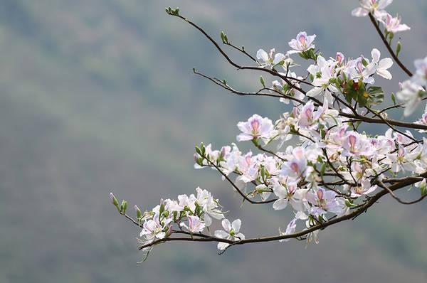 Hoa ban có vai trò đặc biệt trong phong tục của người Thái với lễ hội hoa ban, lễ hội xoè chiêng mùa xuân...