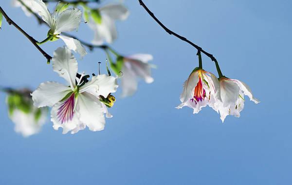 Trong những lễ hội này, người Thái thường dùng hoa ban làm lễ vật để bày tỏ khát vọng sống, khát vọng lứa đôi và tấm lòng biết ơn với tổ tiên.