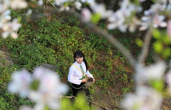 Màu trắng hoa ban thường được ví như sắc màu của sự tinh khôi, trong sáng như vẻ đẹp của thiếu nữ miền sơn cước.