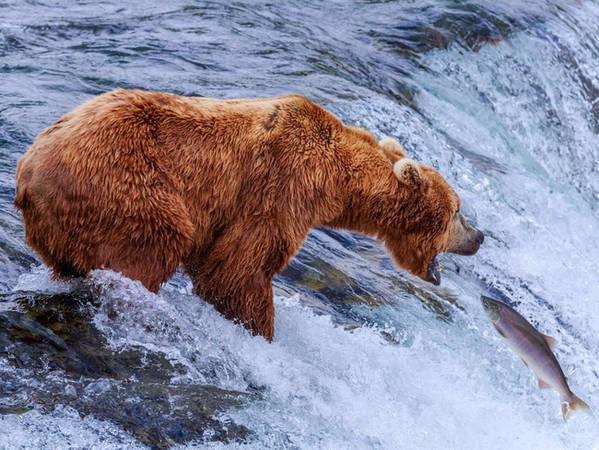 Nếu bạn muốn tìm đến gốc gác của món cá hồi ngon lành đang thưởng thức, hãy làm một chuyến đến Vườn quốc gia Katmai, nơi bạn có thể chiêm ngưỡng các chú gấu nâu trổ tài bắt cá hồi trên sông Brooks.
