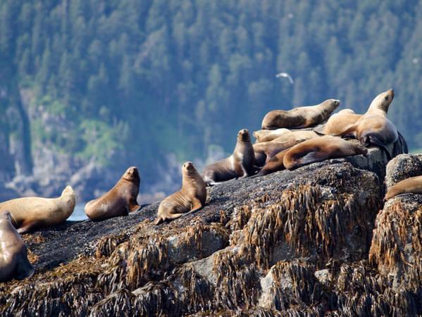 Gấu nâu không phải là loài động vật hoang dã duy nhất mà du khách có thể nhìn thấy ở Alaska. Đi xa hơn về phía bắc, tới Vườn quốc gia Fjords để gặp những chú hải sư béo bự đáng yêu…