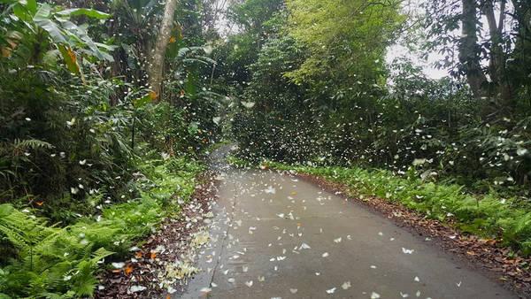 Không gian sống động và quyến rũ với hàng nghìn con bướm rừng tụ trên mặt đất, bay dập dìu theo dọc đường mòn. Điều thú vị bạn chỉ cần khua tay, cả đàn bướm xinh đẹp cùng bay lên trông như ảo thuật.