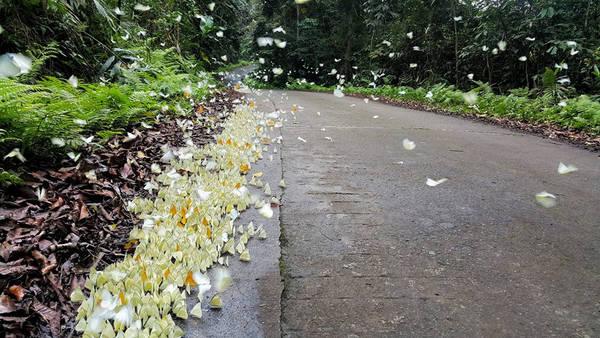 Ở đây, loài bướm phổ biến nhất là bướm trắng. Ngoài ra, còn nhiều loài bướm rừng đẹp đầy màu sắc như bướm phượng, bướm khế... quyến rũ bước chân của kẻ lữ hành.