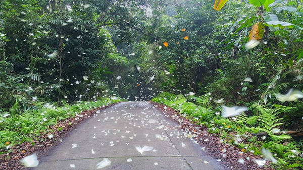 Con đường nhỏ dẫn vào rừng có nhiều đàn bướm xinh đẹp bay đậu trên đường.