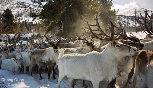Tuần lộc có vai trò quan trọng trong cuộc sống của người Tsaatan từ sinh tồn cho tới văn hóa và tâm linh. Họ thường di chuyển liên tục đến nơi có tuyết dày hơn để tránh bầy sói, và giữ an toàn cho đàn tuần lộc. Trong tuyết dày, sói không thể đuổi kịp tuần lộc.