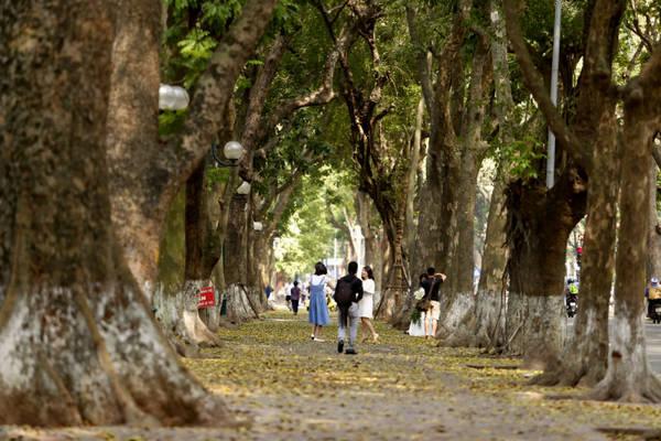 Những hàng cây sấu cổ thụ đều tăm tắp tạo thành một mái vòm che phủ, khiến cho phố Phan Đình Phùng luôn dịu mát quanh năm.