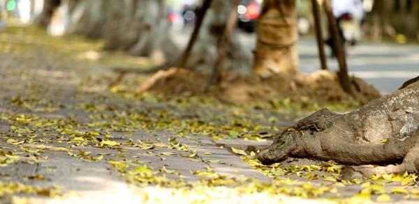 Mùa sấu rụng lá không chỉ khiến Hà Nội thêm đẹp mà đó còn là hình ảnh đặc trưng, là cái chất riêng chỉ có ở Thủ đô hơn ngàn năm văn hiến của Việt Nam.