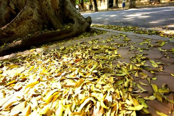 Chính những chiếc lá vàng tạo cho người lữ khách cảm giác như Hà Nội có thêm một mùa thu thứ hai vậy.