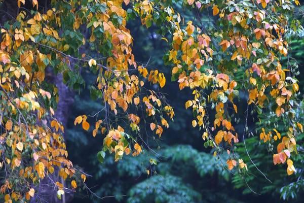 Nơi góc phố, những cây bồ đề, sấu, xà cừ... nổi bật lên với màu lá vàng, đỏ.