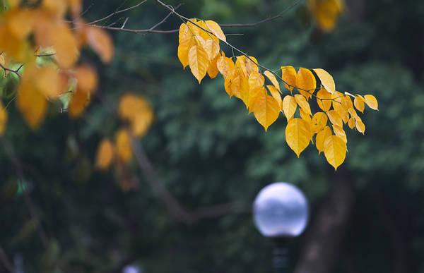 Thời khắc giao mùa đến khá nhanh, lá cây từ màu xanh chuyển sang vàng chỉ trong 2 tuần. Đây được ví như mùa thu Hà Nội thứ hai trong năm.