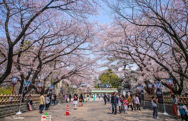 Những ngày này, du khách đến thành phố Nagoya của Nhật Bản sẽ được chiêm ngưỡng những cây hoa anh đào nở rộ khắp thành phố.