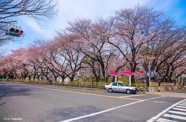 Vào dịp cuối tháng 3, đầu tháng 4 hằng năm, hoa anh đào nở những chùm hoa rực rỡ khắp các con đường.