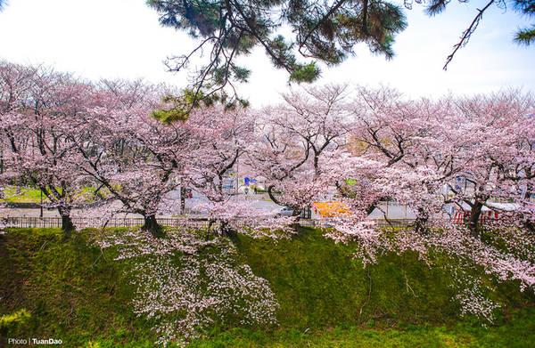 Con đường vào Nagoya Castle, một danh thắng nổi tiếng tại đây, được bao phủ bởi những cây hoa anh đào lâu năm, nở sắc hoa rực rỡ.