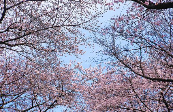 Người Nhật Bản có thói quen tụ tập, ngồi dưới những gốc cây ngắm hoa anh đào.