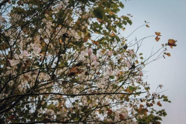 Giữa những cành khô khẳng khiu, chùm hoa ban trắng xóa bật lên tràn đầy sức sống