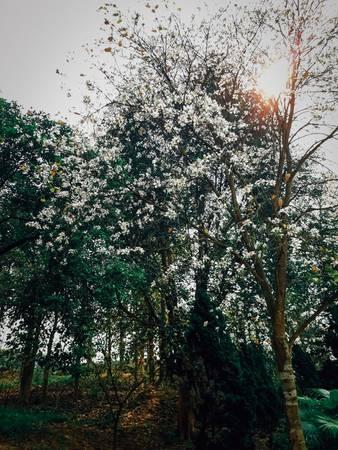 Những bông hoa ban nở rực khắp cả vùng trời Tây Bắc, tỏa hương ngan ngát khắp núi rừng