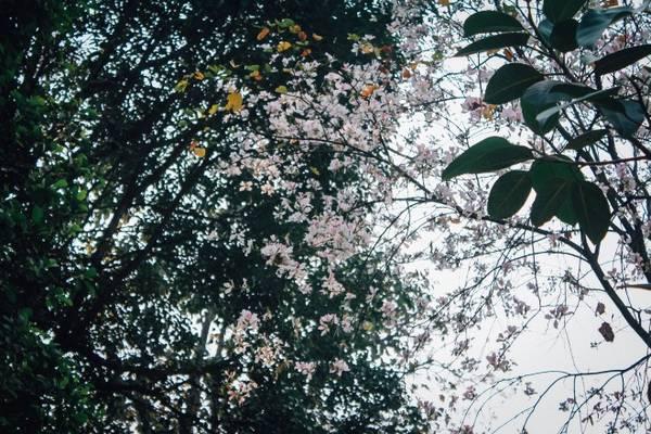 Những chùm hoa trắng tinh khôi khoe vẻ đẹp thuần khiết, trong trẻo như muốn níu giữ bước chân của du khách.