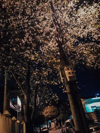 Về đêm, hoa ban lại càng rực rỡ dưới ánh đèn