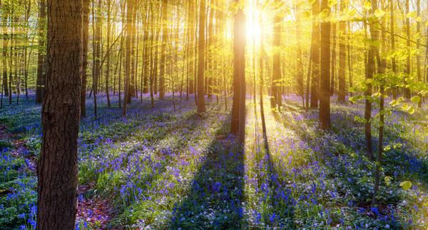 10. Khu rừng Hallerbos ở Bỉ nổi tiếng thế giới vì cứ mỗi khi mùa xuân đến, cả nơi này lại bừng nở với sắc xanh của hoa chuông xanh.