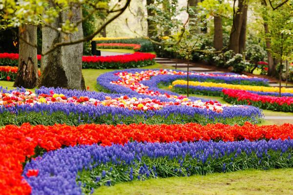 3. Là một trong những khu rừng đẹp nhất thế giới, Keukenhof nằm trong thị trấn Lisse đẹp như tranh vẽ, cách Amsterdam một giờ tàu hỏa. Du khách đến đây không thể rời mắt khỏi những luống hoa (hơn 7 triệu bông hoa) nằm xen kẽ giữa những thân cây cổ thụ cao vút của khu rừng.