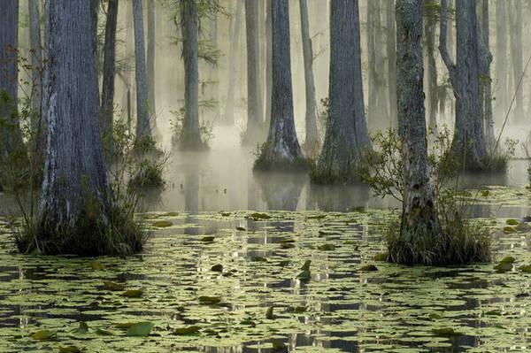 4. Khung cảnh lãng mạn vào buổi sáng sớm của Cypress Gardens ở South Carolina từng xuất hiện cùng bầy thiên nga trong một cảnh phim nổi tiếng của bộ phim The Notebook. Chắc hẳn không ít người muốn được một lần bơi thuyền trong khung cảnh mờ ảo của khu rừng ngập nước như hai nhân vật chính trong bộ phim tình cảm lãng mạn bất hủ này.