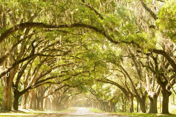 6. Thành phố Savannah xin đẹp ở Greorgia xứng đáng với danh hiệu Thành phố rừng rậm bởi rất nhiều thân sồi khổng lồ phủ rong rêu tạo thành một mái vòm vòng cung che rợp các con đường.