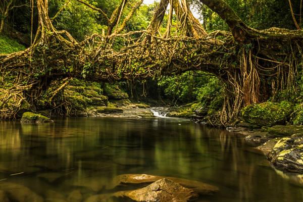 7. Rừng Maghalaya ở Ấn Độ có vẻ đẹp hùng vĩ lạ thường với những rễ cây mọc vắt ngang con sông, vặn xoắn vào nhau trong suốt mấy thập kỷ tạo thành những cây cầu bằng rễ cây sống.