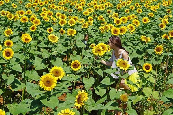 Đồi toàn hoa hướng dương vàng rực cả khung trời. Ảnh: Hannah Olala