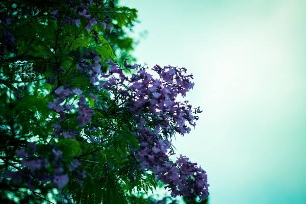 Ngay lối vào sân chính của Trường Cao đẳng Sư Phạm, hai cây phượng tím nở rộ thu hút rất nhiều ánh mắt đến chiêm ngưỡng.