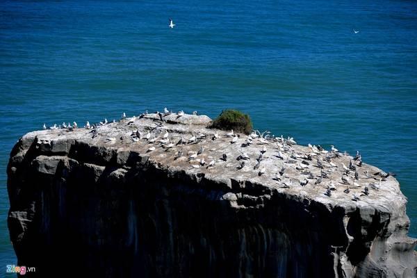 Còn bờ biển Muriwai là nơi trú đậu của chim Gannet.
