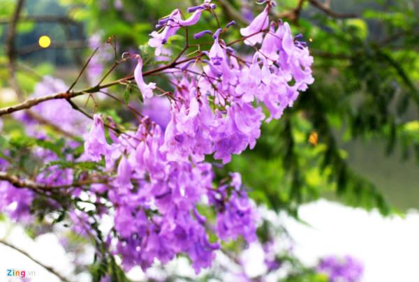 Măng Đen có khí hậu ôn đới nên mùa nào cũng hoa đua nở. Tiết trời cuối xuân đầu mùa hạ, du khách về đây tham quan có thể chiêm ngưỡng loài hoa phượng tím khoe sắc khắp các địa điểm du lịch hồ, thác hoang sơ.