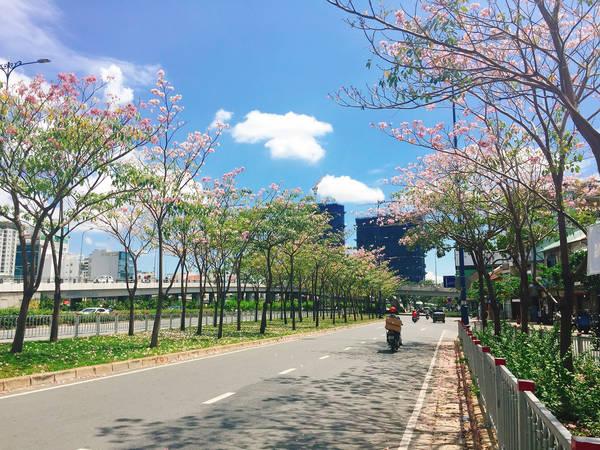 Con đường hoa kèn hồng rực rỡ giữa Sài Gòn.