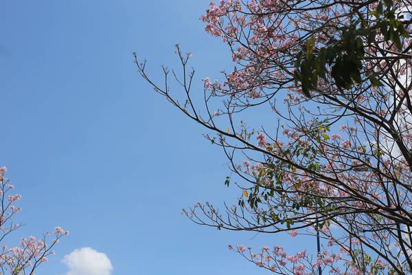 Tuy rực rở, nhưng loài hoa này lại rất sớm lụi tàn.
