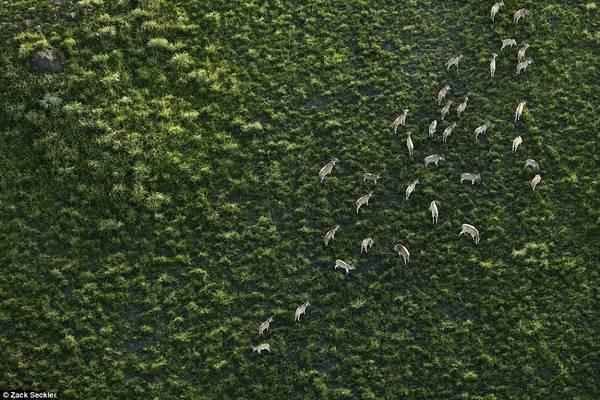 Dưới góc nhìn của ông, thiên nhiên trở nên đẹp diệu kỳ, mơ màng và đầy quyến rũ. Đây là bức ảnh về một đàn linh dương đang gặm cỏ.