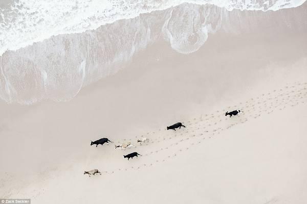 Ảnh chụp từ máy bay hạng nhẹ ở độ cao 15-152 m. Nhiếp ảnh gia cho biết hình ảnh của đàn gia súc đi dạo trên bãi biển Nam Phi có vẻ đẹp cuốn hút, đẹp và kỳ lạ.