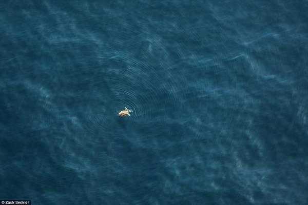 Seckler chụp những bức hình này với mục đích chia sẻ một góc nhìn khác về vẻ đẹp của thế giới. Một con rùa con bơi ra ngoài bờ biển Nam Phi.