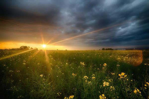 Bình minh trên cánh đồng hoa cải.