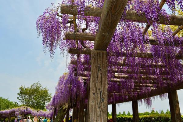 Ngắm hoa tử đằng tại nhà máy xử lý nước thải Kamitoba: Hoa tử đằng đánh dấu sự chuyển tiếp từ mùa xuân sang mùa hè, thường xuất hiện trên các đường hầm dạng cổng mái vòm tại các ngôi đền, miếu thờ, công viên và khu vườn khắp Nhật Bản. Một trong những địa điểm ngắm hoa ấn tượng nhất là Nhà máy xử lý nước thải Kamitoba phía nam Kyoto. Tại đây bạn sẽ được ngắm những chùm hoa tím trong không khí ấm cúng, đắm mình trong nhạc cổ điển, thưởng thức cà phê đá và rượu sake.