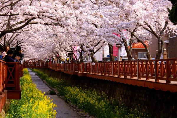 4. Lễ hội hoa anh đào Jinhae: Mỗi năm vào mùa xuân, quận Jinhae (thành phố Changwon) lại tổ chức lễ hội hoa anh đào, thu hút một lượng lớn khách du lịch yêu mến vẻ đẹp mộng ảo của hoa anh đào. Ảnh: Blogspot.