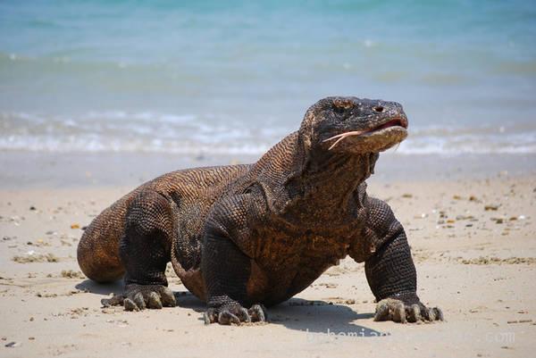 Vườn quốc gia Komodo, Nusa Tenggara Vườn quốc gia Komodo là nơi bảo tồn loài thằn lằn lớn nhất thế giới (rồng Komodo). Dài tới 3 m, nặng đến 80 kg, nọc độc từ vết cắn của loài bò sát này có thể làm tê liệt cả một con trâu nước. Ngoài ra, du khách còn dễ dàng bắt gặp rồng Komodo sống trên quần đảo Flores.