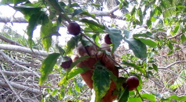 Cây hồng quân ra trái nghịch mùa - Ảnh: Hoài Vũ